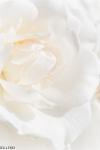 weisse-rose