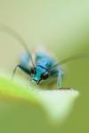 Blauen Käfer